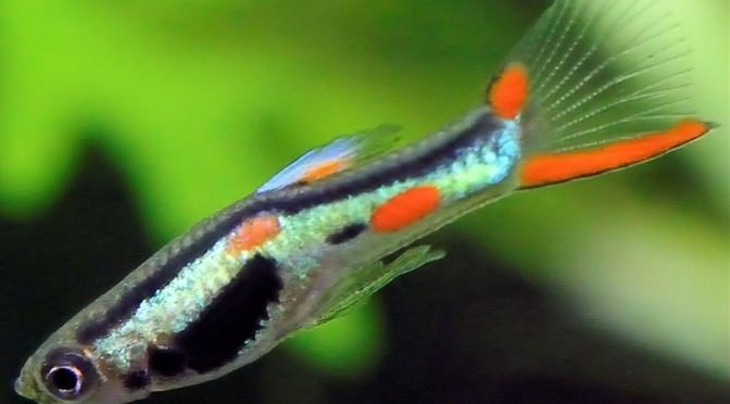 Guppy de Endler