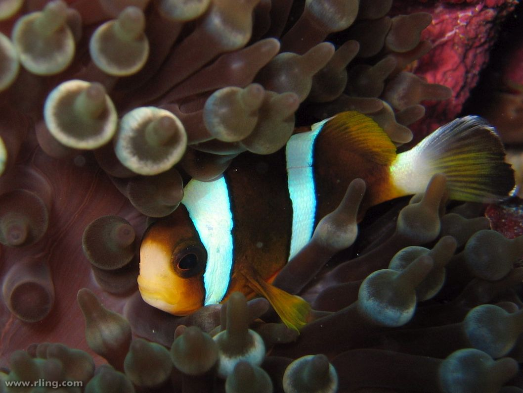 A Barrier Reef Anemonefish (Amphiprion akindynos) in host anemone. Pixie Garden, Ribbon Reefs, Great Barrier Reef